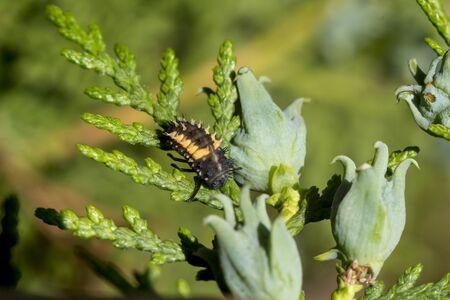 Harlekin ladybug (Harmonia axyridis) larva among thuja leaves.