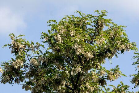 The black locust (Robinia pseudoacacia) flower edible and medicinal properties.