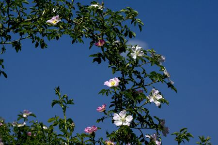 Wild rose (Rosa Canina) over the bush with lots of flowers.