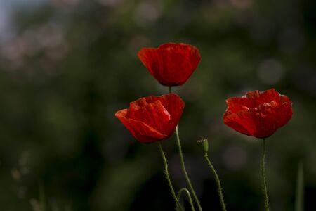 Poppy (Papaver rhoeas) flowers in summer fields. Stock Photo