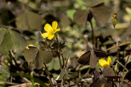 Oxalis (Oxalis corniculata) is a weed in the gardens and fields.