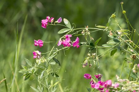 The spring vetch ((Vicia cracca) field weed and feed crops.