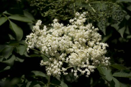Queen Annes Lace (Daucus carota) in the field. Stock Photo