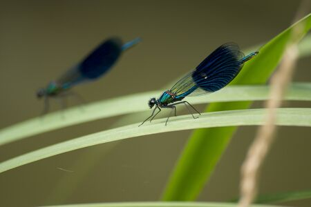 Banded dragonfly (Calopteryx splendens) lives on the waterfront.