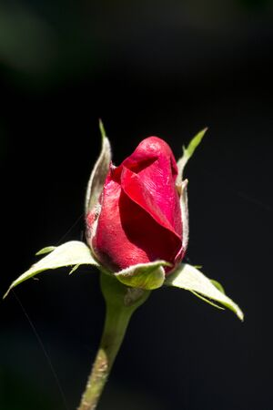 The red rose is filled with water droplets. Stock Photo