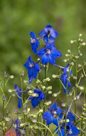 The larkspur (Consolida orientalis) over the field.