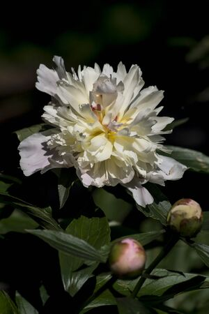 The peony (Paeonia officinalis) is blooming in May.