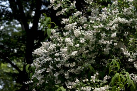 Lily of the valley (Deutzia scabra) is the ornament of the park.