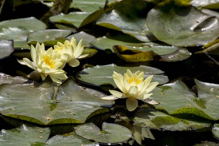Yellow water lily (Nuphar luteum) is the ornament of the lakes.