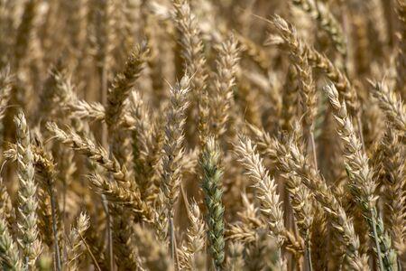The mature before common wheat (Triticum aestivum)harvests. Stock Photo