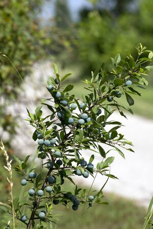 The blue sloe (Prunus spinosa) fruit of the autumn forest.