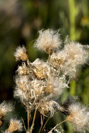 The Canada thistle (Cirsium arvense), mature seeds.