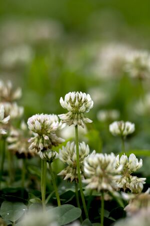 The white clover (Trifolium repens) lives in the field.