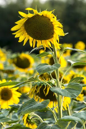 The sunflower (Helianthus annuus) yellow flower of the field.