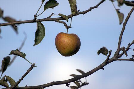 Green apple. fruit, food, healthy, white, fresh,