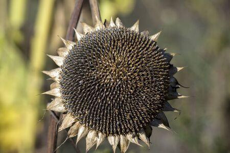 Mature sunflower (Helianthus annuus) seeds are black.