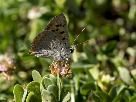 Common blue (Polyommatus icarus) on the meadow buttercup.