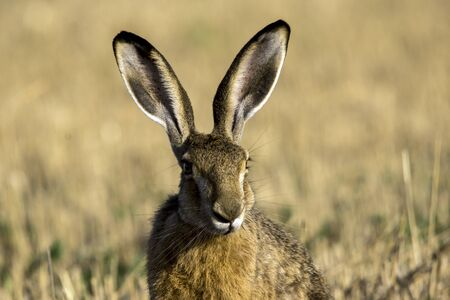The  hare (Lepus europaeus) and attentive to all danger.