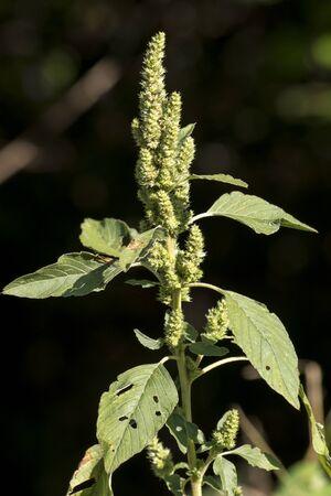 The pigweed (Amaranthus retroflexus) is a common garden weed.