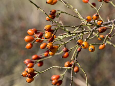 The wild rose (Rosa Canina) berries, rose hips. Stock Photo