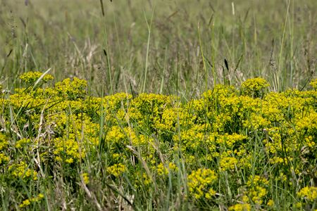 The wolf spurge (Euphorbia cyparissias) plants in the ditch. Stock Photo