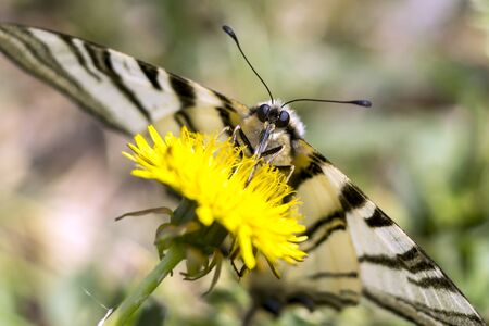 Butterfly sword (Iphiclides podalirius) on garden flowers.