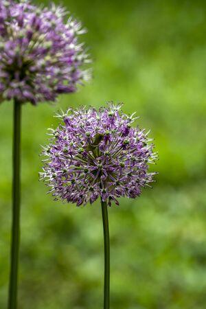 The giant ornamental onion (Allium giganteum) spring buds. Stock Photo