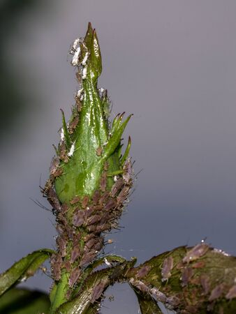 The Aphids  (Macrosiphum rosae) on roses in the garden.