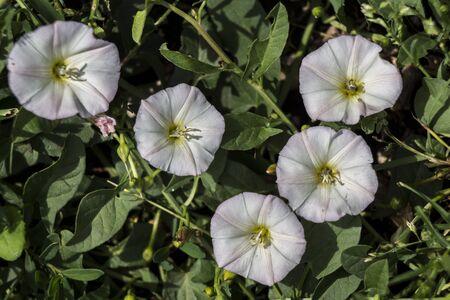 Bindweed (Convolvulus arvensis) is a creeping weed field.