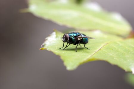 The housefly (Musca domestica) rests on the leaf.