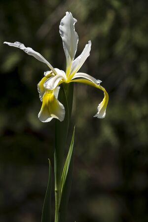 The spring garden ornament in the iris flower. Stock Photo