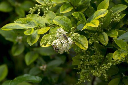 Common ice cream (Ligustrum vulgare) is the ornament of the park. Stock Photo