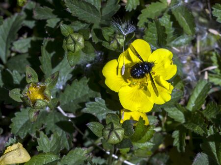 The spring pimp (Potentilla neumanniana) flower in the field. Stock Photo