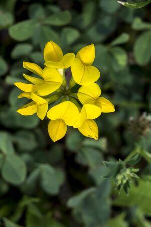 The Maltese Alfalfa (Trifolium campestre) is a wildflower of fields. Stockfoto