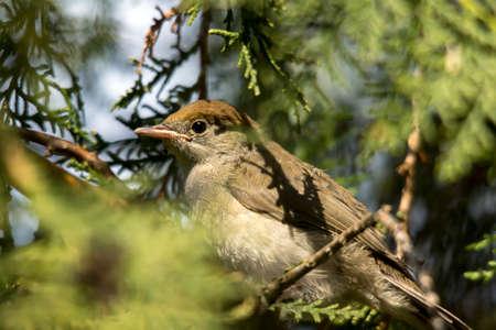 Small sage (Sylvia curruca) a useful garden birds. Stock Photo