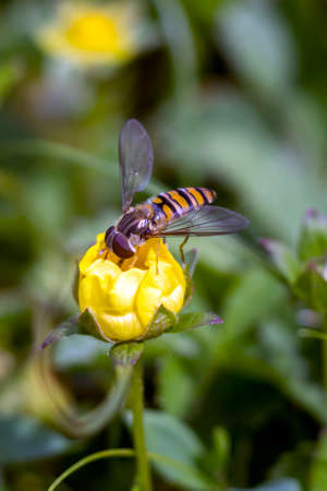 Common Flycatcher (Syrphus ribesii) is on the garden flower bush.