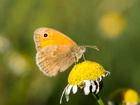 Small hay moth (Coenonympha pamphilus) in wild flowers.