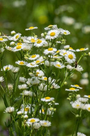 The autumn field daisy fleabane (Stenactis annua) opens.
