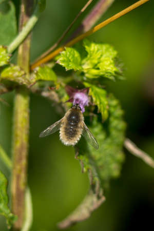 The Border fly (Bombylius major) rests on the leaf. Stock Photo