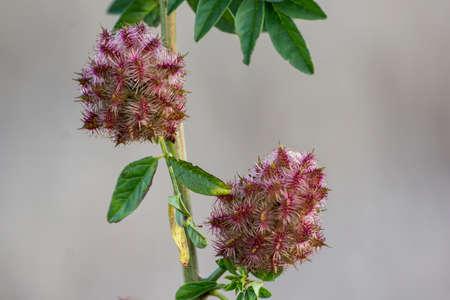 Licorice (Glycyrrhiza glabra), leaf and fruit, in summer .. Stock Photo