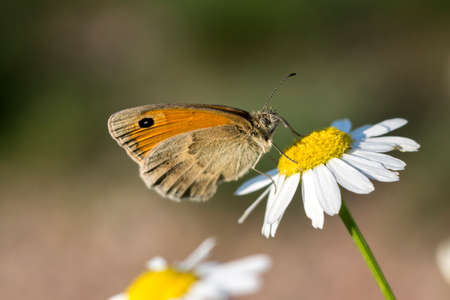 The hay butterfly (Coenonympha pamphilus) lavender flower. Stock Photo