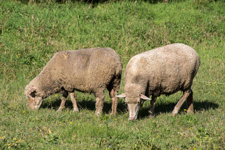 Domestic sheep (Ovis aries aries) graze in the field. Stock Photo