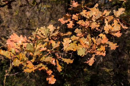 Red elm tree (Ulmus rubra) in the forest.