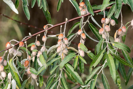 The olive tree (Olea europaea). branch with fruits.