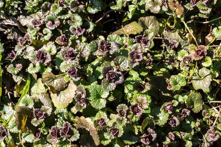 Red dead nettle (Lamium purpureum) medicinal weed.