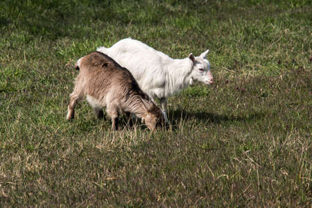 A young goat in the yard hopping. Stock Photo