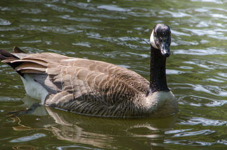 A Canadian Goose In The Water photo