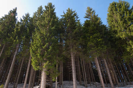 Pines in Dolomites Italy