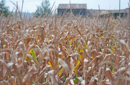 maize: Maize field
