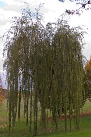 weeping willow: Weeping willow tree Stock Photo